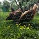 Haus Primosch - Unsere Hühner im Garten - das Frühstücks-Ei frisch vom Bauernhof